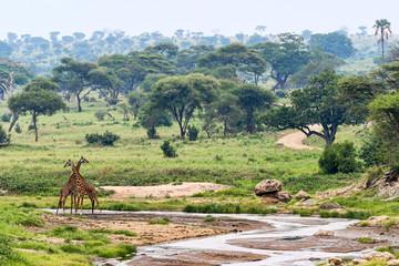 Tansania-Giraffe-11748