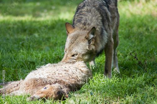 Foto op Aluminium Wolf Jagender Wolf