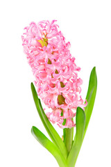 Colourful Hyacinth isolated on white