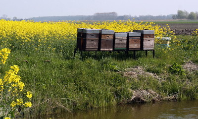 Rape seed field with hives