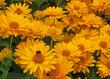 Sonnenauge - Heliopsis
