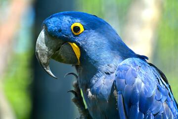 perroquet bleu zoo de vincennes