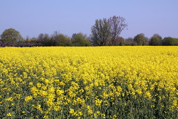 Yellow rapeseed field in the meadow