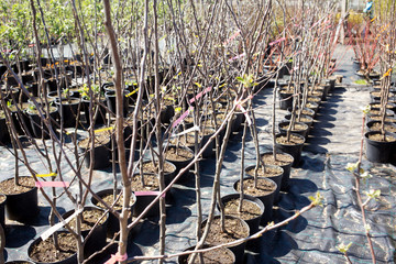 Ornamental trees in the nursery plants
