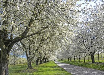 Weg durch blühende Kirschbäume