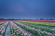 colorful tulip field in dusk