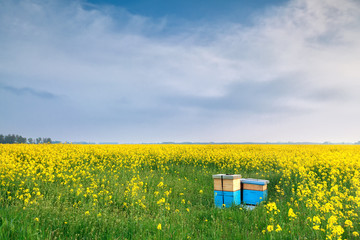 rapeseed flowers and beehive over blue sky