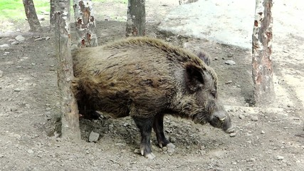 Wild boar rubbing its back against a tree