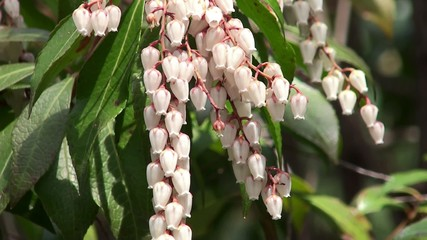 Spring flowers of Japanese Andromeda (Pieris japonica).
