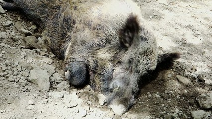 wild boar sleeping