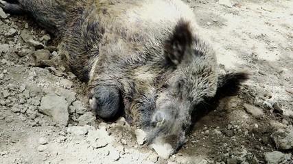 wild boar sleeping