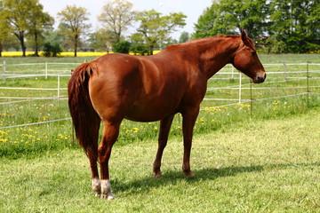 Braunes Pferd auf grüner Weide