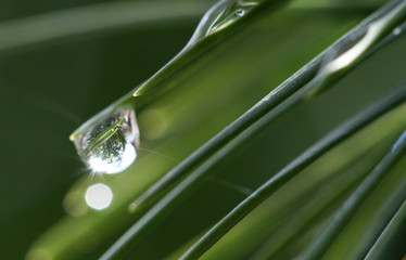 waterdrops on a pine needles