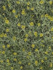 Textura de herbácea con espinas, neneo, mulinum spinosum