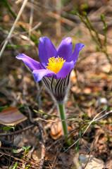 wild blue crocuses in the spring