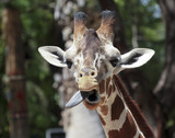 A Giraffe Sticks Out its Long Tongue
