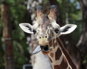 A Giraffe Sticks Out its Long Tongue