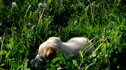 beige puppy lying on green grass