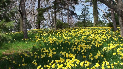 Yellow meadow with blooming Narcissuses. Brooklyn BG
