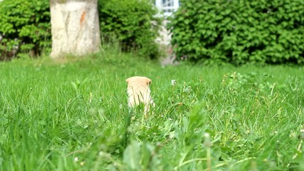 beige puppy runs on a green lawn near the house