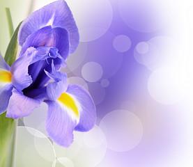 Blue irises isolated on white background
