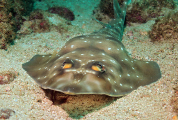 Gorgona Guitarfish, Catalina Islands, Costa Rica