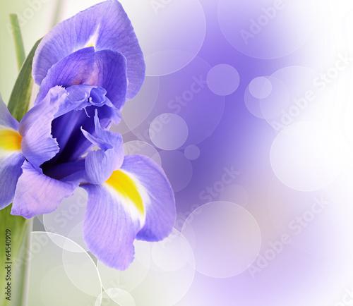 Foto op Canvas Iris Blue irises isolated on white background