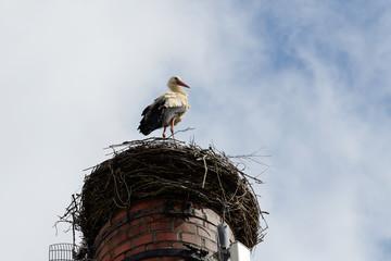 Storch steht in seinem Nest