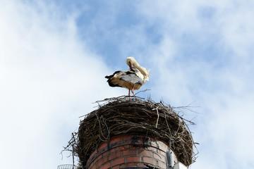 Storch putzt sich im Nest