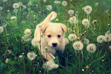 puppy in the grass - 64542388