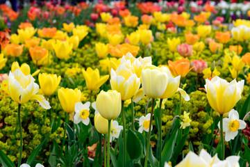 Tulpen- und Blumenfeld