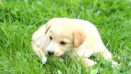 funny beige puppy chewing on the grass