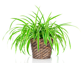 Chlorophytum isolated on white background