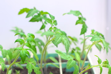 Tomato organic seedlings at the spring