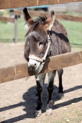 Grey donkey in paddock