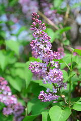 Lilac flowers outdoors