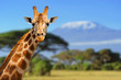 Giraffe in front of Kilimanjaro mountain - 64545762