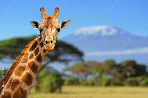 Canvas Afrika Giraffe in front of Kilimanjaro mountain