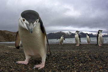 Antarctiic penguin