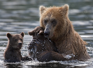 female brown bears cares about their babies