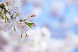 Closeup of cherry tree blossoms in spring