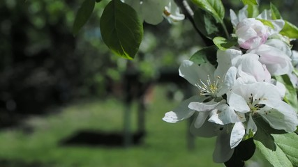 Apple blossoms on tree during spring time