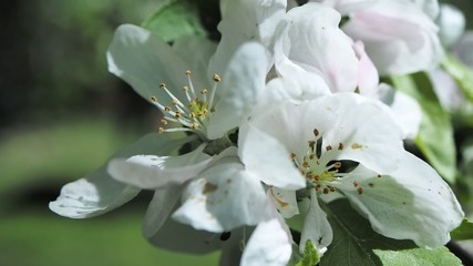Blossoming apple tree brunch with pink flowers