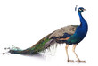Leinwanddruck Bild - peacock