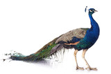 Fototapety peacock