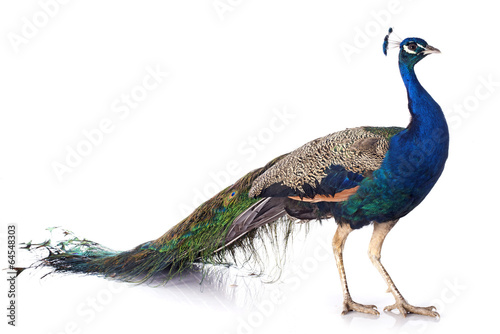 Poster Pauw peacock