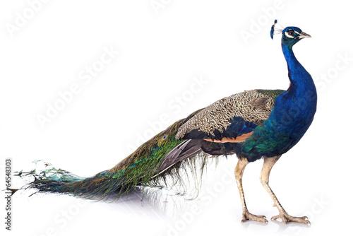 Aluminium Vogel peacock