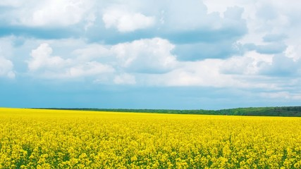 Panorama of a field with yellow wild flowers on a sunny day