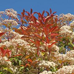 photinia en fleurs