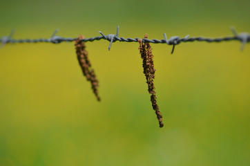Catkin hanging from a barbed wire fence
